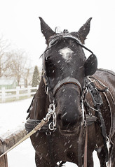 1V7A6567 (AlfredDaCat) Tags: snowing winter horse gif