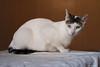 Grim (leporcia) Tags: animales animals cat cats chat chatterie gatos gato gatto katze katzen kitty felino feline grim