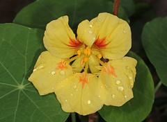 Nasturtium (Jenny Thynne - trying to catch up) Tags: flower nasturtium brisbane queensland australia tropaeolum