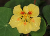 Nasturtium (Jenny Thynne) Tags: flower nasturtium brisbane queensland australia tropaeolum