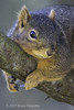 While Resting A Fox Squirrel Grips A Tree Branch (brucefinocchio) Tags: restingfoxsquirrel foxsquirrel rodent squirrelarmsaroundabranch branch thickbranch gripping sanlorenzocreek eastbay northerncalifornia