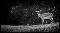 Alone (Ramon Quaedvlieg Photo) Tags: alone deer animal nature outdoor safaripark safariparkbeeksebergen beeksebergen hilvarenbeek netherlands mammal mammalia chordata blackandwhite blackandwhitephotography ears eyes pecora cervidae artiodactyla synapsida