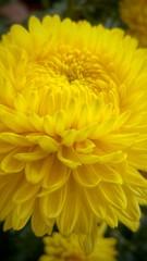 Big Yellow Chrysanthemum (tomquah) Tags: flowers tomquah chrysanthemun plant yellow lg g4 color