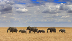 Passing Through (AnyMotion) Tags: africanelephant afrikanischerelefant loxodontaafricana elephants elefanten savannah savanne elerama landscape landschaft 2015 anymotion serengetinationalpark tanzania tansania africa afrika travel reisen animal animals tiere nature natur wildlife 6d canoneos6d landschaftsaufnahmen ngc npc