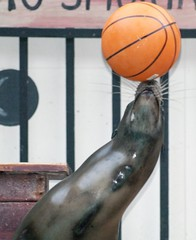 Wet Sea Lion Trying to Balance a Basket Ball (publicdomainphotography) Tags: animals water dolphin sea lion sealaniya turkey pool show trainer circus cute editorial sports jump mammal man marine nature ocean ride swimming education wet wild zoo blue spray talented basketball black gray