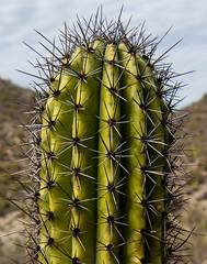 classic cactus (alex1derr) Tags: arizona organpipecactusnationalmonument cactus green prick saguaro sharp thorn