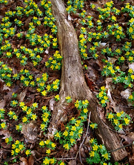 """Cincinnati – Spring Grove Cemetery & Arboretum """"Yellow Winter Aconite Flowers"""" (David Paul Ohmer) Tags: ohio cincinnati spring grove cemetery arboretum springgrovecemetery gravesites burial grounds death spirit soul deceased graveyard conservatory victorian gothic revival national historic landmark adolph strauch cemetary autumn fall foliage tree leaves yellow winter aconite flower"""