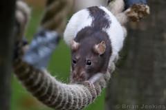 Fancy Rat (Bri_J) Tags: tropicalbutterflyhouse northanston sheffield southyorkshire uk yorkshire butterflyhouse nikon d7200 fancyrat rat rodent sigma150600mm