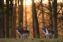 'Four Fallow Friends' (Jonathan Casey) Tags: stag fallow deer holkham hall norfolk england sunrise d810 400mm f28