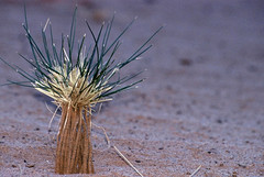 Tassili n' Ajjer   Jan 2004 (Euphemia G) Tags: africa sahara desert plant algeria djanet