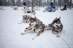 IMG_2437 (F@bione©) Tags: lapponia lapland marzo 2017 husky aurora boreale northenlight circolo polare artico rovagnemi finalndia finland