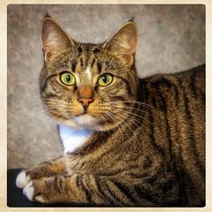 Sweep (tina777) Tags: sweep cat feline tabby white bib domestic shorthair eyes ear tufts paws whiskers striped portrait fujifilm xt10 ononesoftware