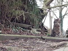 I See You (Daphne-8) Tags: cat katze tabby tiger pet haustier animal grey grau gray
