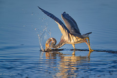 Gotcha! (dngovoni) Tags: merrittisland action background bird florida heron tricoloredheron water wildlife unitedstates us