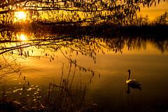 Sunset (Maria Eklind) Tags: outdoor ribersborg sunset swan svan reflection spegling solnedgång sunlight tree nature sweden malmö skånelän sverige se