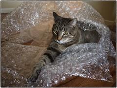 Jackson In Bubble Wrap, December 14, 2016 (Maggie Osterberg) Tags: iphone maggieo lincoln nebraska cat jackson colorefexpro4 iphone6sbackcamera415mmf22