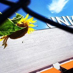sunflower & union (christaki) Tags: dc union sunflower