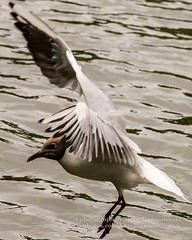 Black headed gull in flight B (Jacek Wojnarowski Photography) Tags: park uk summer england bird nature water animal vertical closeup bristol europe adult outdoor top wildlife front left seabird blackheadedgull 10x8 dayphotography brownheadedgull