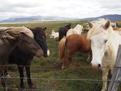 Icelandic horses, Snøfellsnes!