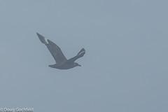 South Polar Skua (Doug Gochfeld) Tags: summer massachusetts flight august bbc documentation rarity pelagic spsk southpolarskua