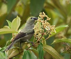 Bird (vic_206) Tags: bird costarica tortuguero canon300f4lis canoneos7d