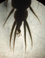 . (illinoisriverwatch) Tags: beetle larvae whirligig gyrinidae