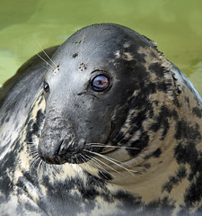 (Joan Hagan 7000k+ views. Thankyou :-)) Tags: nikon cornwall seals sanctuary gweek sealsanctuary nikon7200 nikonsigma50500mm joanhagan