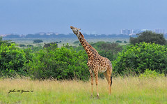 DSC_3752-b  Masai Giraffe with Nairobi in the background. This is the only park in the world within a cities limits. Established in 1946, Kenya. (GavinKenya) Tags: africa park wild nature animal june john mammal photography gavin photographer kenya african wildlife nairobi july grand safari national dk tall giraffe masai tallest naturephotography kenyasafari africansafari 2015 safaris nnp africanwildlife africasafari masaigiraffe johngavin wildlifephotography nairobinationalpark nairobikenya kenyaafrica kenyawildlife dkgrandsafaris africa2015 safari2015 johnhgavin giraffenairobi