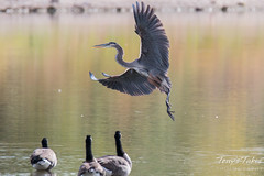 September 7, 2015 - A Great Blue Heron comes in for a landing at Golden Ponds in Longmont. (Tony's Takes)