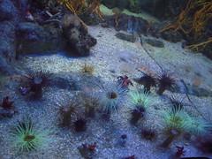 CERIANTHE (marsupilami92) Tags: france aquarium vacances frankreich 17 larochelle tourisme sudouest charentemaritime poitoucharentes cerianthe