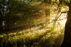 Ethereal (Stuart Stevenson) Tags: uk autumn trees light mist leaves fog sunrise woodland landscape photography golden scotland web wideangle foliage treetrunk sunrays spidersweb sunbeams enchantedforest diffusedlight clydevalley earlyautumn southlanarkshire canon1740mm canon5dmkii stuartstevenson