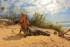 The typical Aussie Beach Lizard. (Rob Valentic - Gondwana Reptile Productions) Tags: rollei coast sanddune bluetongue westernaustralia shingleback carlzeiss seaandsky vintagelens scincidae dunescape sandandsky tiliquarugosa leitax coastallimestone canoneos5dmark3 wareptiles stumpytailedskink threatdisplaylizard showingthebluetongue beachlizards wideanglelizard wideanglereptiles bogeyeskink rollei16hft kalbarriwalizards washinglebackgape iconicbeachaustralia iconicaussielizard kalbarribeachscenes westaustralianstumpy