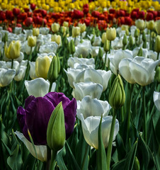 Floriade Canberra 2015 (lauricelopinto) Tags: flowers plant flower field wheel landscape spring tulips sony australia ferris adventure flowerbed tulip canberra floriade 2015 a6000