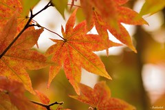 Half way through.. (Shubhashish Chakrabarty) Tags: autumn japan maple momiji 日本 紅葉 秋 kawaguchiko 河口湖 もみじ