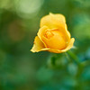Yellow Time (ai3310X) Tags: rose t none easygoing 50mmf14 planar extensiontube carlzeiss バラ ycontax