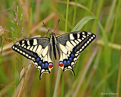 Swallowtail (Darea62) Tags: papilio machaon macaone butterfly insect wings swallowtail old world common yellow