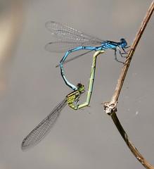 Blue Eyes mating. Erythromma lindenii (gailhampshire) Tags: blue eyes mating erythromma lindenii taxonomy:binomial=erythrommalindenii explored