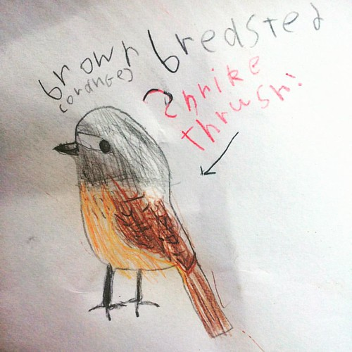 300/365 • brown breasted shrike thrush - I love that Z drew this bird, that she picked this one out of the whole bird book - because it's this bird that always makes me think of my dad • #300_2015 #shrikethrush #bird #drawing #7yo #whatbirdisthat #putabir