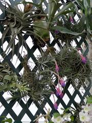 Exposición de Orquídeas 2015. (airesdeflora) Tags: plants lima natura exposición tillandsias