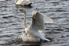 IMGP8104 Whooper Swan, Welney, November 2015 (bobchappell55) Tags: wild bird swan wetlands trust aquatic wildfowl welney whooper washes