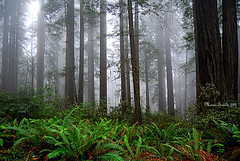 FOG in The FOREST (mariagrandi985) Tags: forest fern fog trees treetrunks redwood green brown gray silhouette leaves nature outdoor landscape plants mariagrandi985 redwoodnationalparkcalifornia californiausa