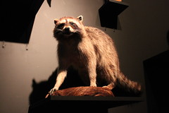 Science World - October 15, 2015 (rieserrano) Tags: raccoon bodyworlds plastination