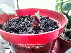 Scadoxus Multiflorus 'Blood Lily' in kitchen window sprouting 12-06-2015 (D@viD_2.011) Tags: bloodlily 2015 scadoxus scadoxusmultiflorus mutiflorus