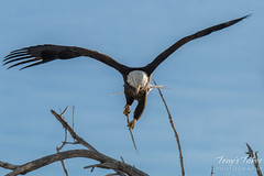 Bald Eagle launches, snaps off branch - Sequence - 8 of 13