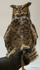 Great Horned Owl Portrait 2 (gerilynns) Tags: eyesonowls audoban maine birds predators feathers wings faces
