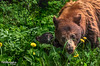 Family Lunch (Pat Kavanagh) Tags: brownbear cub bearcub baby watertonnationalpark waterton alberta canada patrickkavanaghca patrickkavanaghphotography