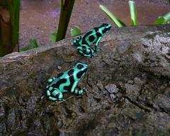 "Costa Rican ""Poison Dendrobates Auratus"" frogs (Lena and Igor) Tags: travel america poasvolcano nationalpark costarica frog dartfrog greenandblack closeup panasonic lumix dmc tz5 pointandshoot wow"