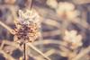 Golden frost (Chloé +++) Tags: golden frost doré givre winter hiver sunrise lever de soleil lumière light couleur bokeh profondeur champs fleur flower nature canonos400d hour heure