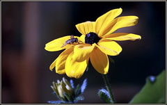 Remembring better weather (* RICHARD M (Over 6 million views)) Tags: faunaflora flower hoverfly syrphidfly flowerfly syrphidae fly flies flora fauna insects flyinginsects flyinginsect petals bloom plants september yellowflower warmweather nature mothernature yellowpetals botany entomology wingedinsects