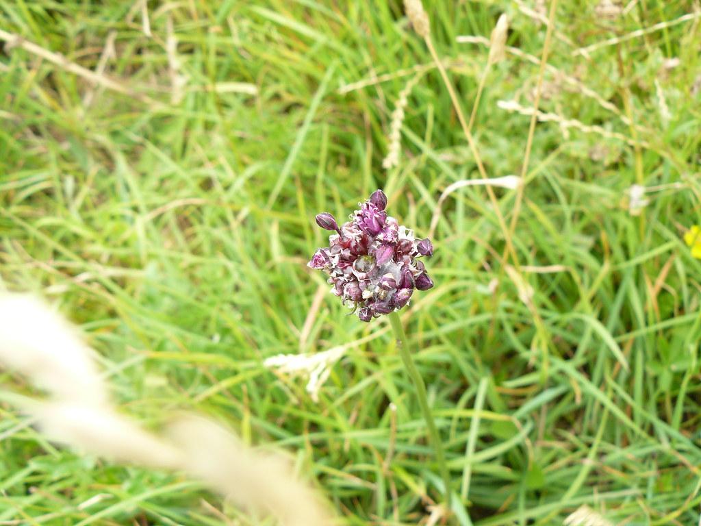 Allium scorodoprasum-Schlangenlauch3